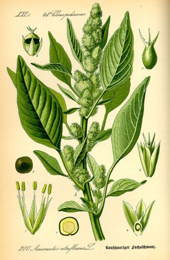 Illustration_Amaranthus