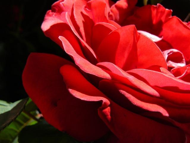 red-rose-1807235_1920