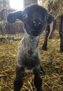 smiling_goat